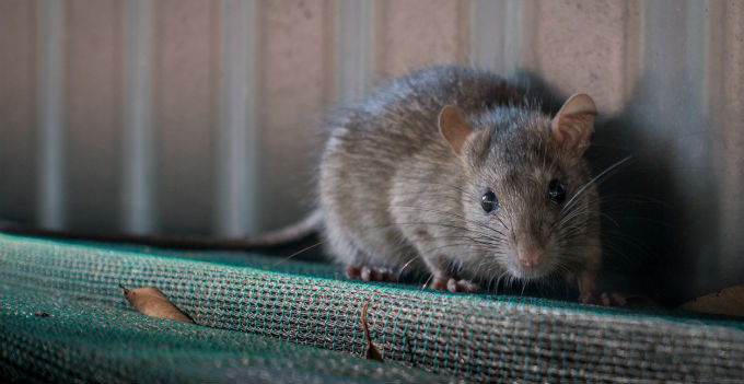 Why Do I Have Mice In My Walls In Norman Ok Schendel Blog