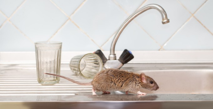 Mouse running along sink ledge with cups in background